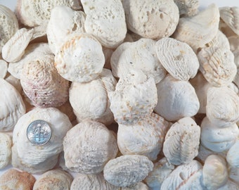 Surf clam shells, 4Lb 5oz, Large parcel of 121 small to large, soft ruffle texture, shoreline washed  clam shells #139S