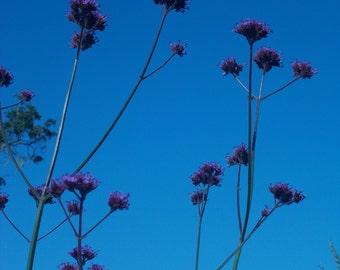Verbena bonariensis Cottage garden flower seeds purple flower seed wildflower garden butterfly seed perennial flower gardening cut flower