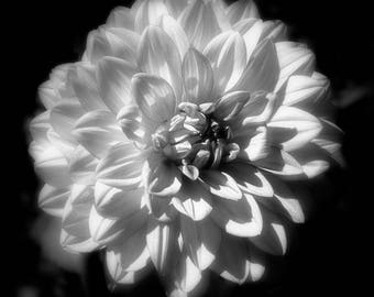 Zinnia, Black and White, Flower, Single Flower, Floral Print, Flower Photography, Bloom, Black and White Print, Canvas, Wall Art, Botanical