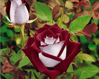 30 Osiria Rose Hybrid, Rare Rose Seeds, Fresh Exotic Blood Red and White Rose, Flower Seeds,Perennial,Growing Roses from Seeds,Planting Rose