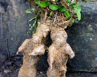 30 Seeds Polygonum multiflorum Seeds,Ho Shou Wu/He Shou Wu Herb seeds,fleeceflower vine Chinese herbal medicine seeds