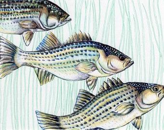 "Bass Fish Art  - Fish Illustration - Nautical Art - Pen and Ink Print - Gift For Him - 8 x 10"" Art Print - Beach Home Decor"