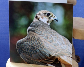Falcon-a blank greetings card suitable birthdays and other celebrations from our original photograph