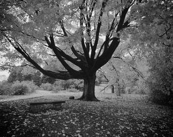 A fall tree (Black&White)