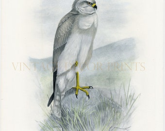 Birds of Prey Print, The Hen Harrier, Antique Print by Lilian Marguerite Medland Date 1906-1911. Hand Painted Ornithological Print