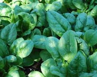 Spinach Seeds,  Bloomsdale Longstanding Spinach,  Spinacia oleracea, Heirloom, Slow to Blot, Annual Vegetable