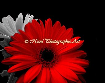 RED Gerbera Daisy Flower Black and white floral Home Decor Matted Picture A740