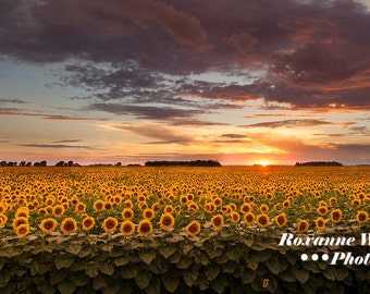 Sunflower print//North Dakota Art//sunflowers sunset//blooming sunflowers//sunflower decor