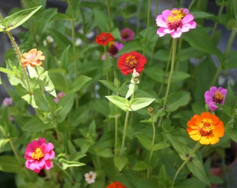 Zinnia Seeds, Multi Color Zinnia Seeds, Flowers that Attract Bees And butterflies, Easy to grow Flowers, Flowers to grow in Containers