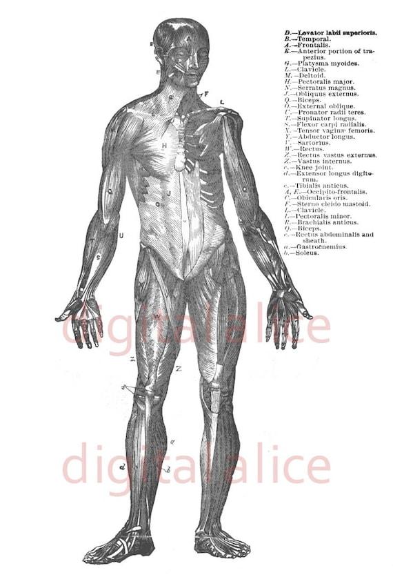 ANATOMÍA humana músculos Print - blanco y negro ilustración - cuerpo ...
