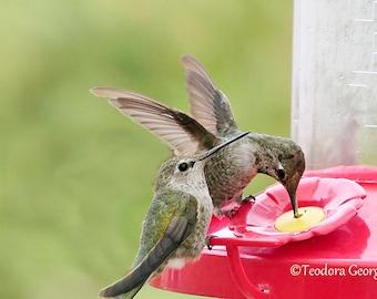 Hummingbirds Photography, WIldlife Photography, Nature Photography, Bird Photography