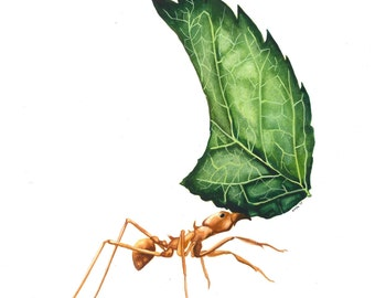 Leaf Cutter Ant