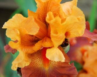Orange Iris Magnet-ready to ship