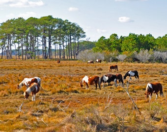 Chincoteague Ponies Nature Photography Greeting/Note Card
