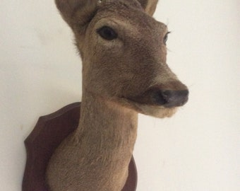 Taxidermy Trophy Deer Head, French, Signed. Excellent condition, no hair loss. Hunting Trophy. Roe deer.
