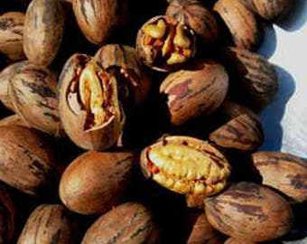 Pecan Stuart Nut Seedling Tree FREE SHIP