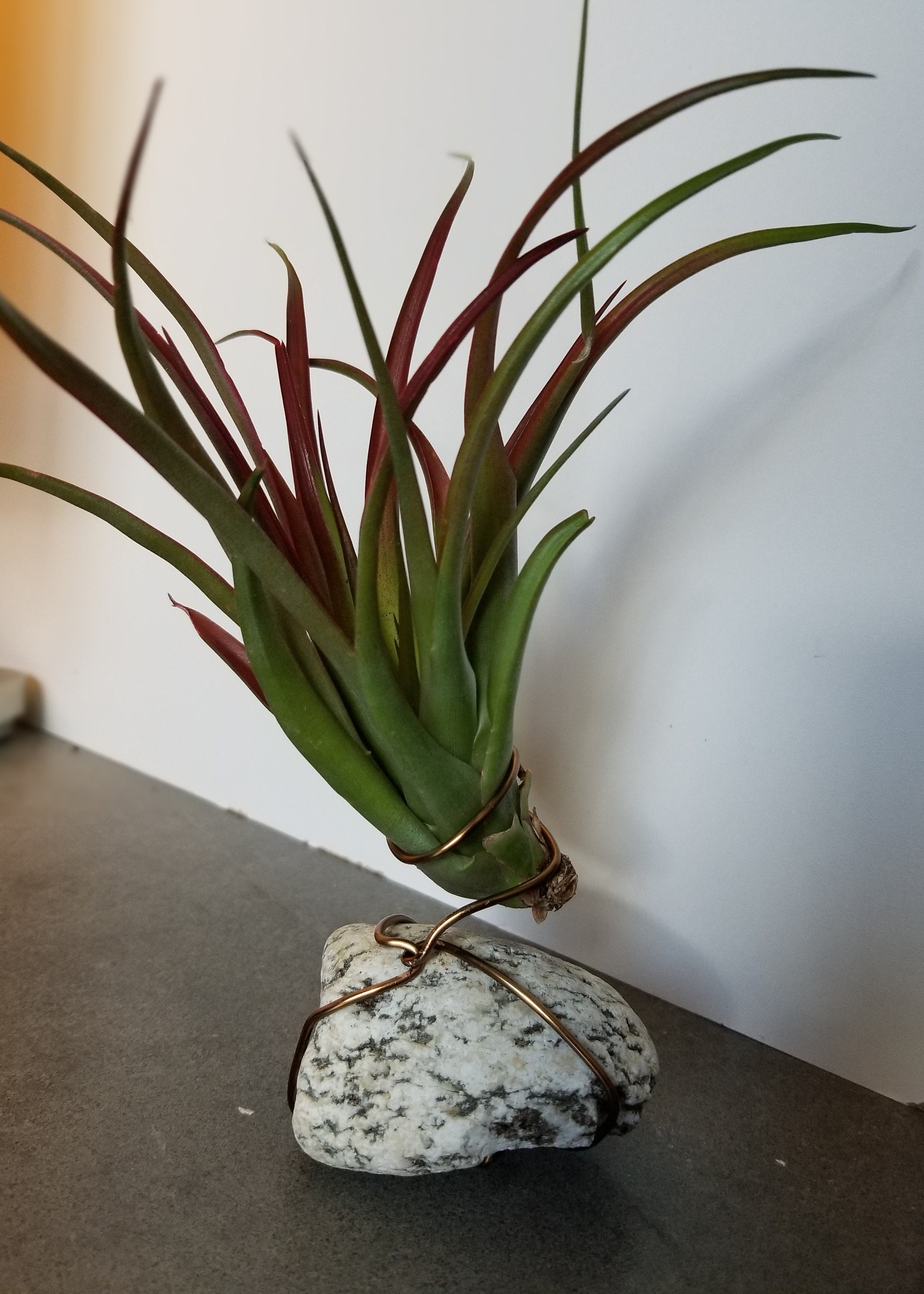 Tillandsia Red Abdita Air Plant Display
