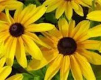 Black Eyed Susan Seeds Flower, Plant a Field, Give Some as a Gift, 25 Seeds