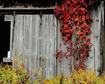 Vine + Barn Photograph - Red Leaves - Abandoned Barn - Rustic Autumn - Fall Foliage - Weathered Barn - Nature Landscape - Autumn Photograph