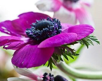 Anemone - Fine Art Photograph