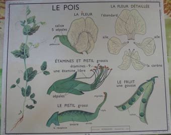 Old school poster Offset size 29.5 x 35.5 cm theme vegetable polka dots, flower, plant fruit stamens and pistil