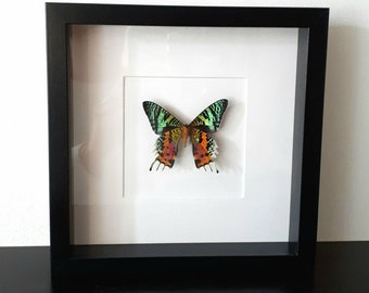 Real pinned stuffed butterfly in frame curiosity insect taxidermy