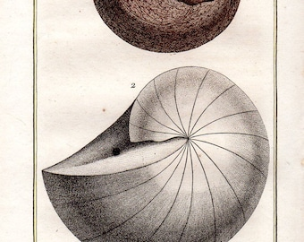 1802 Antique Nautilus Shells Print Sea Shell Mollusks Buffon Plate 46