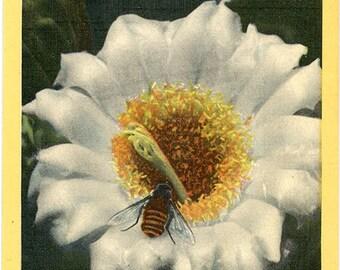 Arizona State Flower - Sahuaro Giant Cactus Blossom Vintage Postcard (unused)