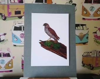 Sparrowhawk standing on a fallen tree print from my original coloured pencil drawing
