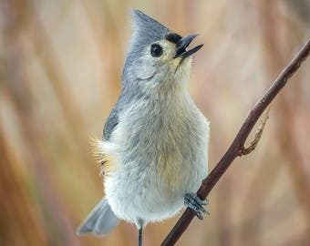 Tufted Titmouse Singing in Front of Autumn Colors - Bird Photo Print