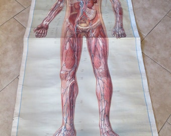 Antique German Anatomy Pull Down Chart, Life Size