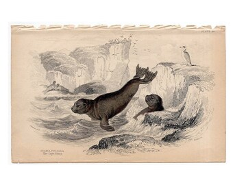 c. 1833 ANTIQUE SEAL PRINT - original antique engraving - marine animal print - ocean sea beach decor - by Lizar - cape otary seal
