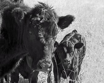 cows, calves, prints