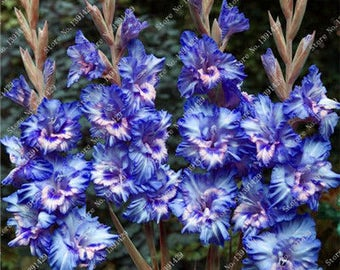 Gladiolus Bulbs, (not seeds) Perennial Flower 5 Bulbs (item No: 5)