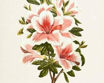 Botanical Print Azalea Indica Flower Art Print, Botanical Art Print, Flower Wall Art, Flower Print, Floral Print, Pink Flower