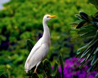 The Egret Outside My Window- fine art print- fine art photography- bird photography- Hawaii photo- wildlife photography- wall art-home decor