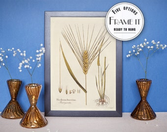 "Vintage illustration of Barley - framed fine art print, botanical art, home decor 8""x10"" ; 11""x14"", FREE SHIPPING - 63"