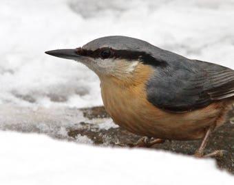 Nut Hatch in the snow, wall art, house art, bird art, winter art, winter scene, rural art, rustic art, nature art