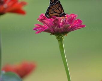 Monarch Photograph Butterfly zinnea flower garden pink green butterflies monarchs Home Office Wall Decor Fine Art Photography wings flower