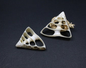 5 slices of natural shell - sizes mixed +/-25-45mm x 31-49mm x 3 to 5mm