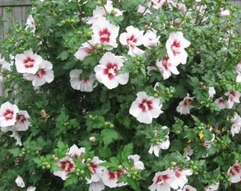25 Rose Of Sharon Trees mix of colors 1-2 year old free shipping