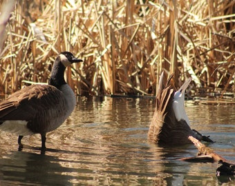 Duck, Duck, Goose! Nature Photography, New England, Wildlife Photography