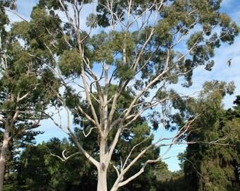 Lemon Eucalyptus Tree Seeds ( Eucalyptus citriodora ) 20+Seeds