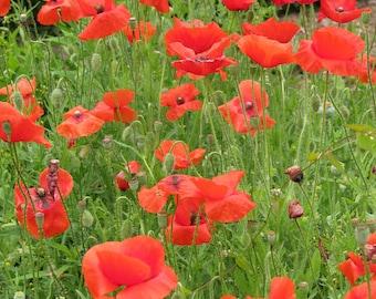 Red Poppy Seeds - Papaver rhoeas