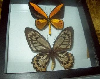 Golden Birdwing Butterfly Pair