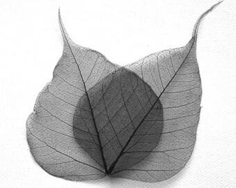 Black Bodhi Skeleton Leaves