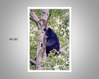 04.263 Black Bear Limited Edition, Signed and Numbered, 11x14 Matted Images (white mat)