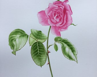 Watercolor, botanical Illustration, pink, Flower watercolor print