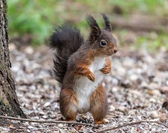 Red Squirrel - wee dancer