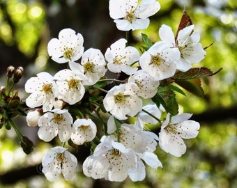 White Cherry Blossoms, Wild Blooming Fruit Trees Spring Flowers Fine Art Photo